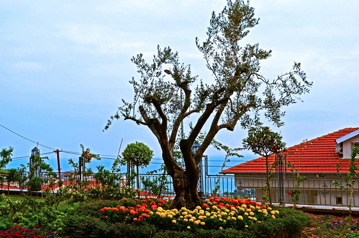 Дерево которому повезло вырасти в Турции))