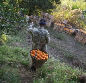 сбор мандаринов Испания вакансии