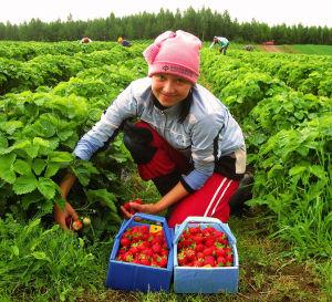 сбор ягод за границей